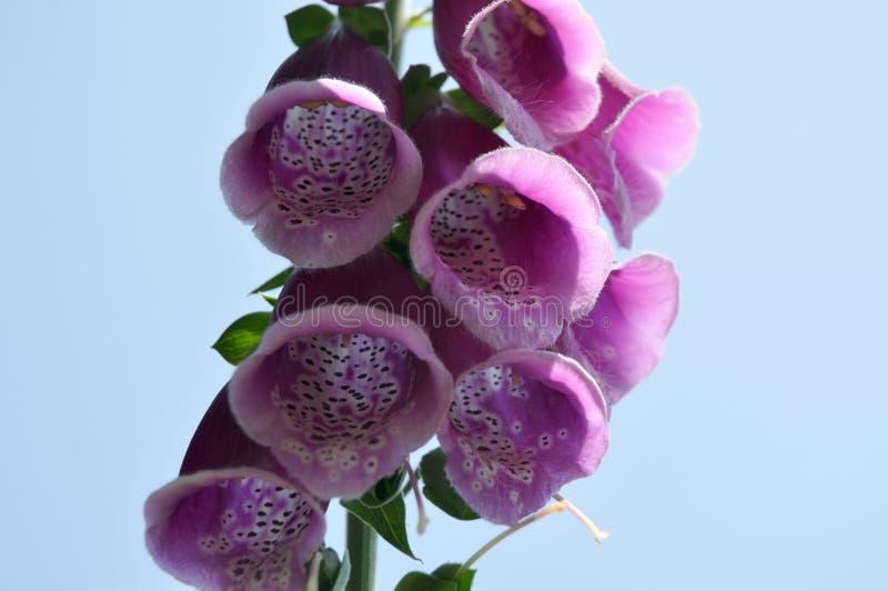 一个开花的紫色毛地黄属植物的特写镜头在阳光下 库存图片