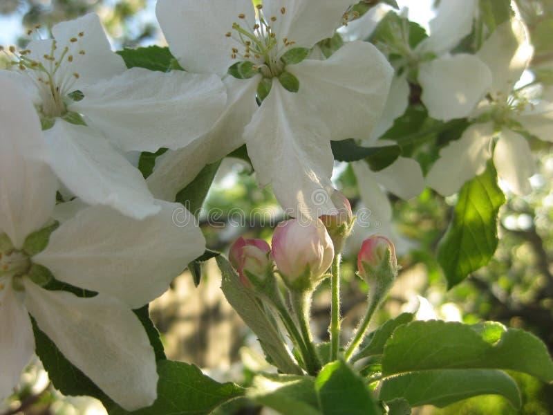 一个开花的苹果树特写镜头的分支与开花的花和芽的 库存图片