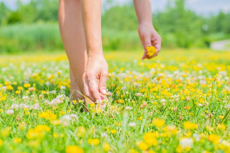 一个开花的领域的妇女在夏日收集黄色花花束  库存照片