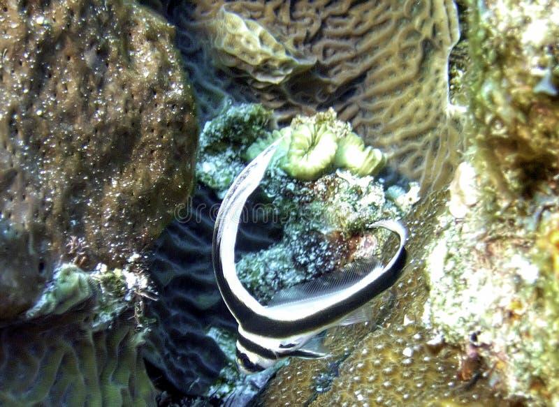 一个微小的发现的鼓青少年在珊瑚中游泳 库存图片