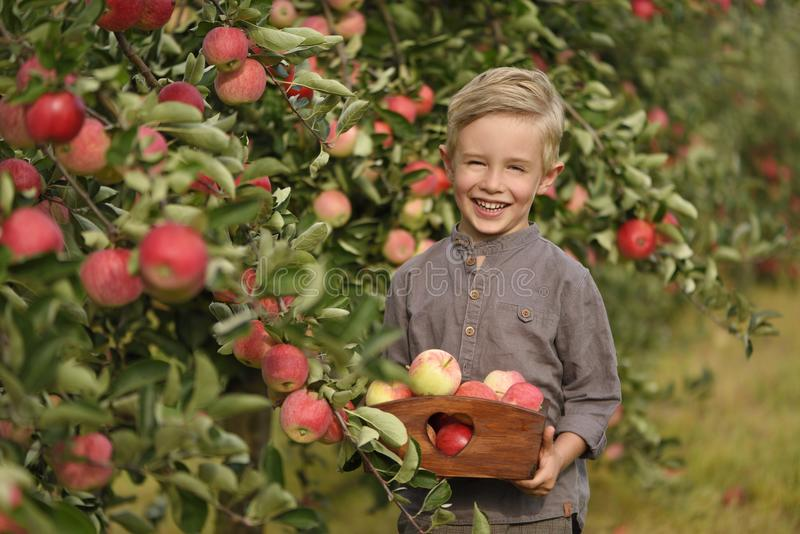 一个微笑的男孩在苹果树摘苹果并且拿着苹果 库存照片