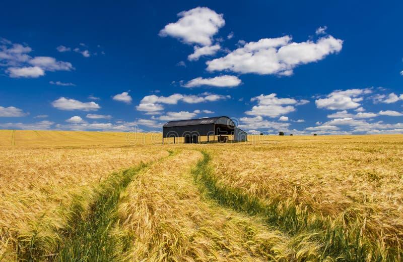 一个成熟的庄稼领域的荷兰谷仓在多西特 库存照片