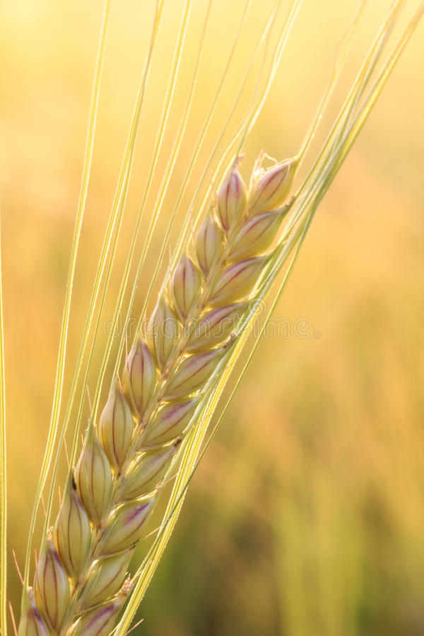 一个成熟耳朵,金黄领域背景 免版税库存图片