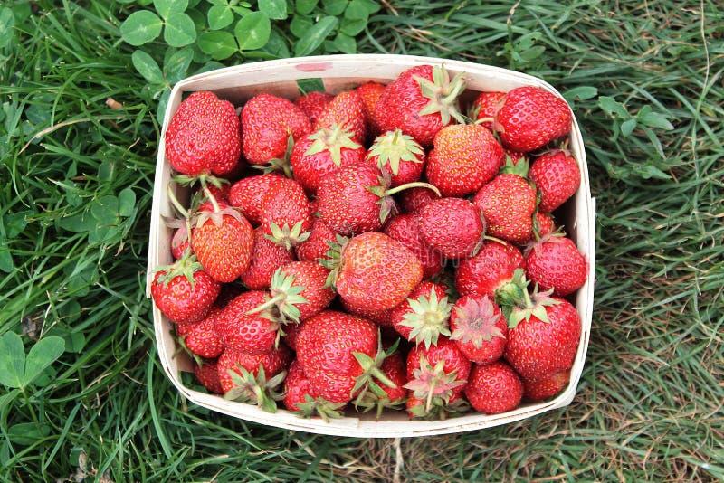 一个成熟草莓在一个小篮子 图库摄影