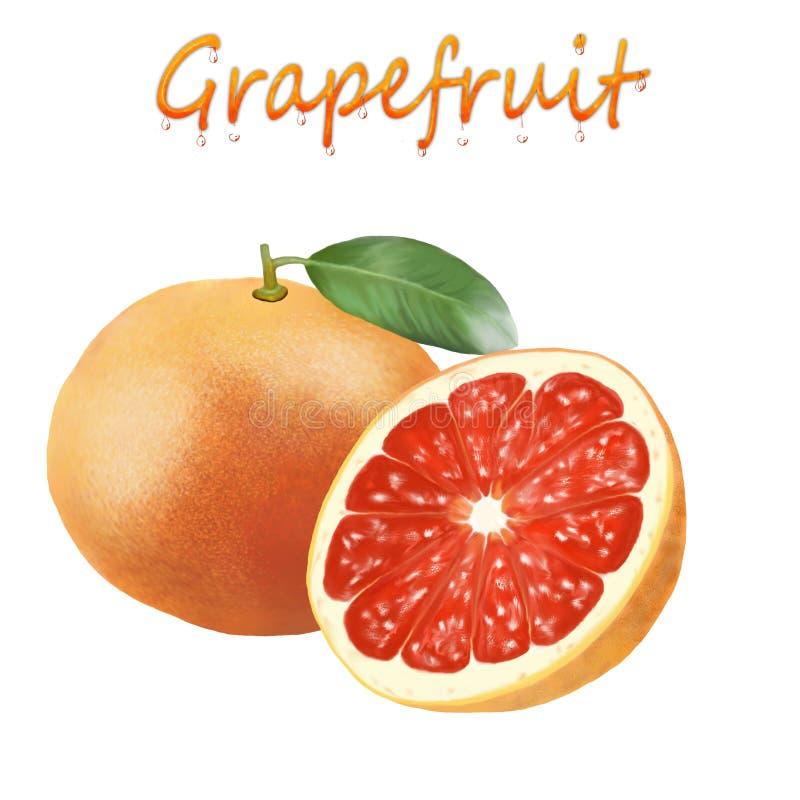 一个成熟葡萄柚的例证在白色背景的 向量例证