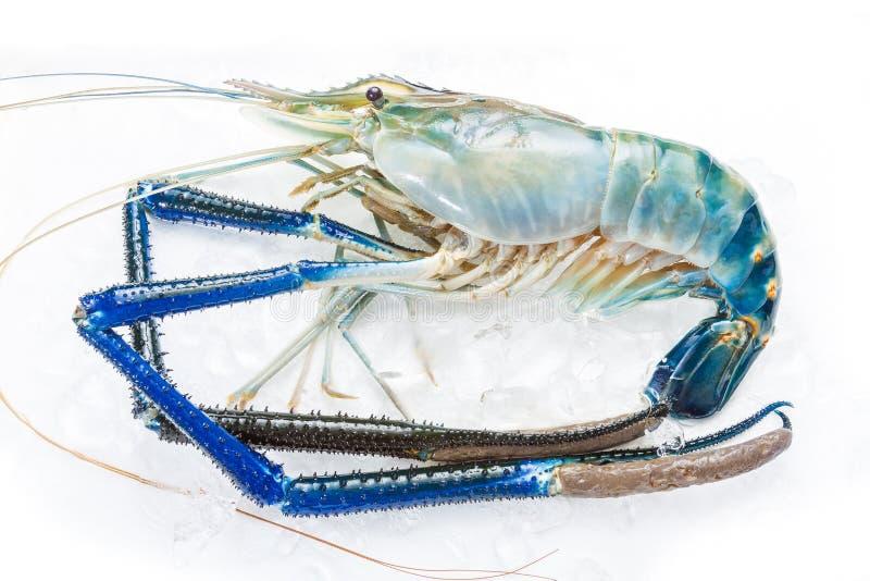 一个新鲜的巨型淡水大虾 免版税库存照片