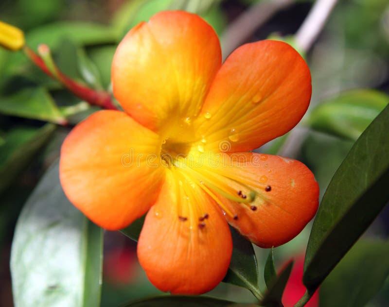 一个明亮的橙色花宏指令 免版税库存照片