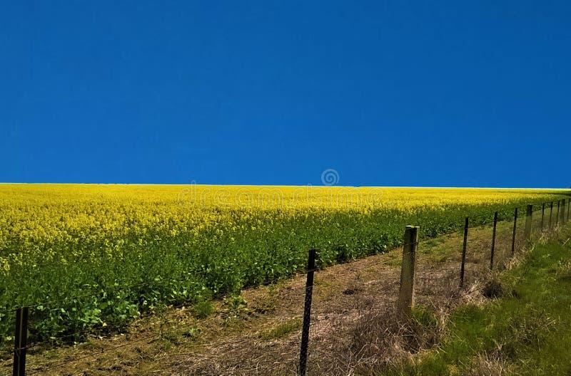一个明亮的黄色油菜领域 库存照片
