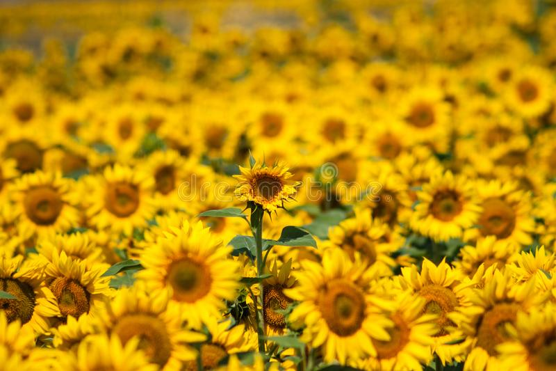 一个更高的向日葵比其他在庭院里 免版税图库摄影