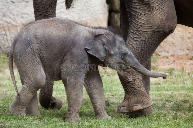 一个月印度象(亚洲象属maximus indicus)与它 库存图片