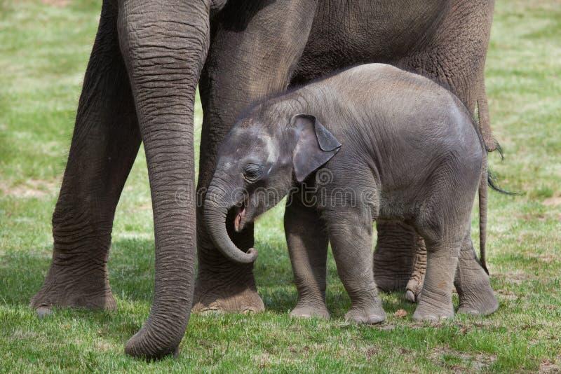 一个月印度象(亚洲象属maximus indicus)与它 库存照片