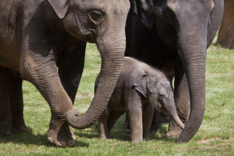 一个月印度象(亚洲象属maximus indicus)与它 免版税库存照片