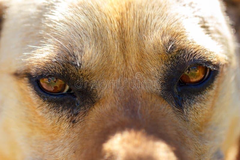 一个本地狗鼻子的枪口的特写镜头注视 库存图片