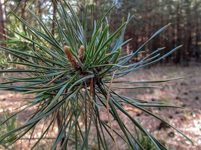 一个杉木锥体的毒菌在分支特写镜头的 库存照片