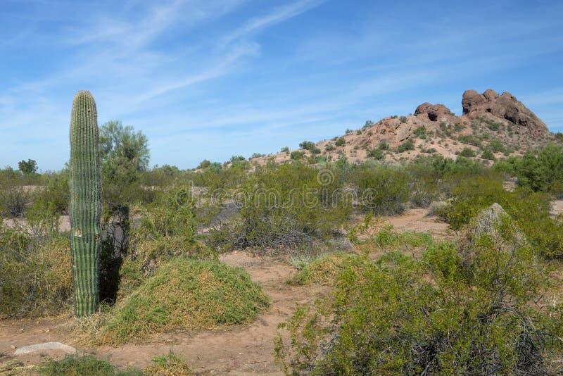 一个柱仙人掌仙人掌在亚利桑那沙漠 免版税库存图片