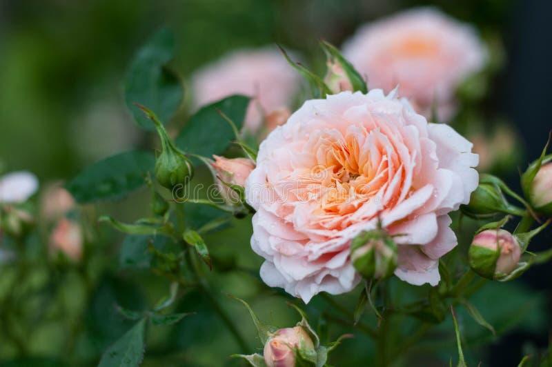 一个桃红色和橙色露台在剪影上升了 图库摄影