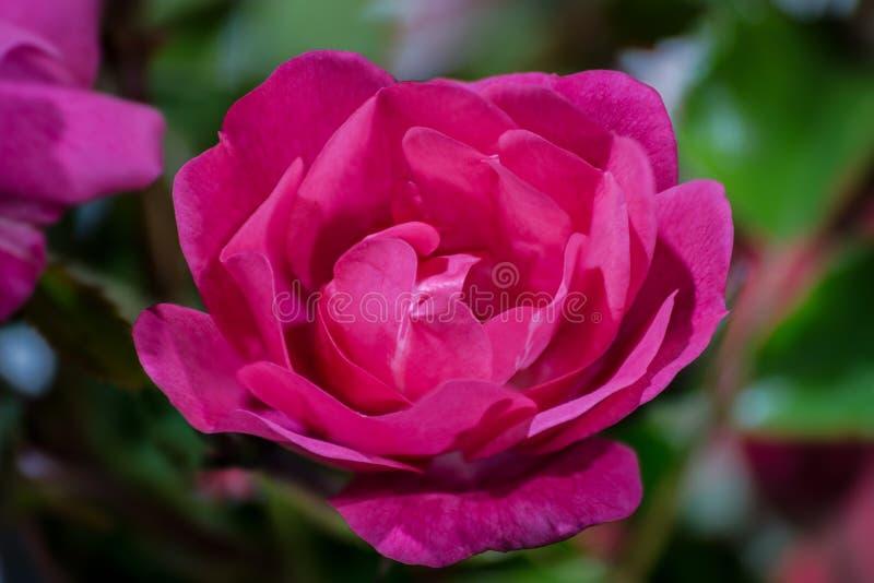 一个桃红色红色玫瑰花特写镜头,宏指令 有被弄脏的桃红色和绿色背景 免版税图库摄影