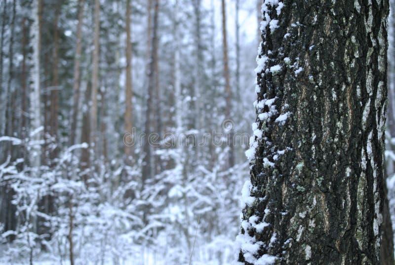 一个桦树的树干在冬天 免版税库存照片