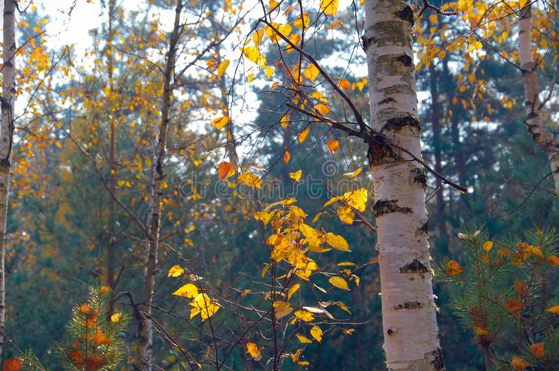 一个桦树的美丽的射击在有金黄叶子的一个厚实的森林里在秋天期间在俄罗斯 免版税库存照片