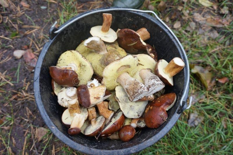一个桶白色蘑菇,吸收在秋天森林里 免版税库存图片