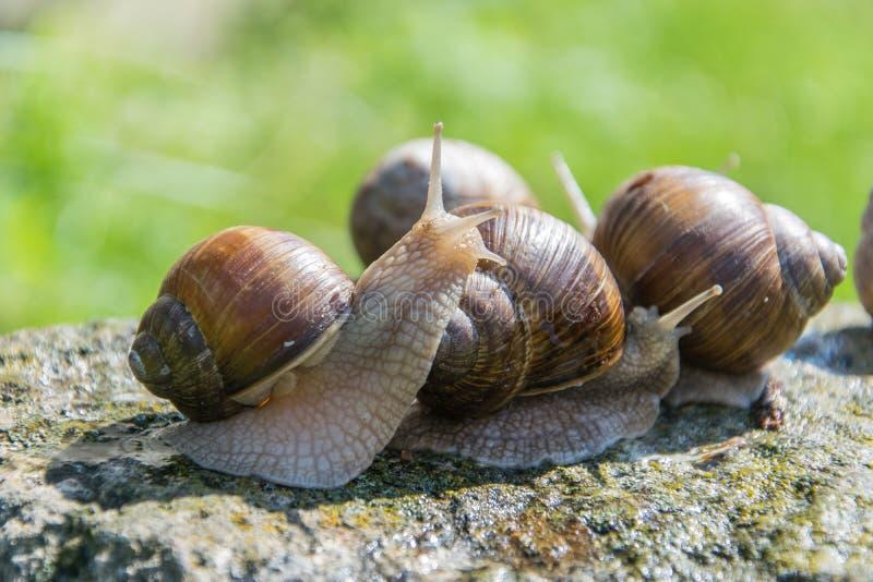 一个棕色葡萄蜗牛坐灰色石头在夏天 库存图片