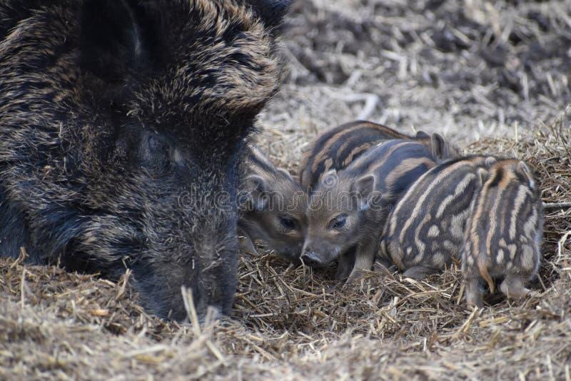 一个棕色野公猪妈妈的特写镜头有她的新手的在一个森林里在德国 库存图片
