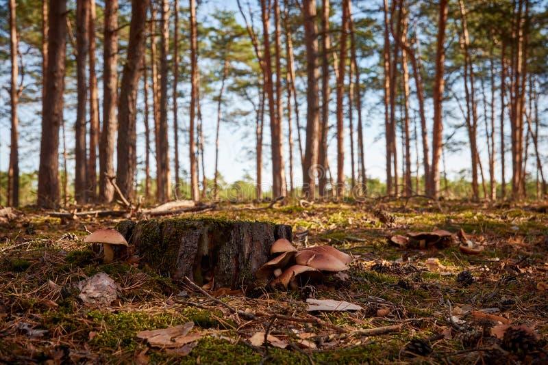 一个森林的特写镜头视图以天空蔚蓝、树桩和蘑菇赌注 库存照片
