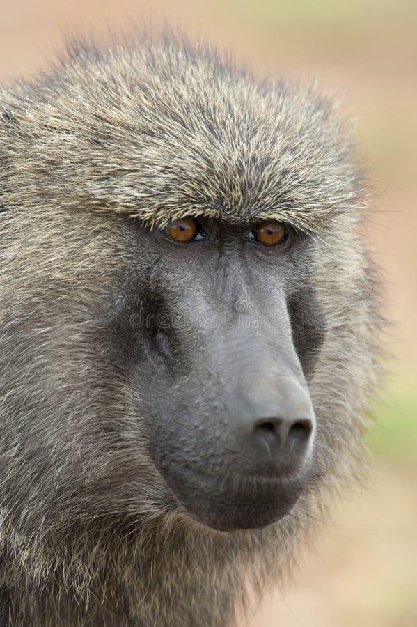 Download 一个橄榄色的狒狒的画象 库存照片. 图片 包括有 mara, 马塞语, 破擦声, 大主教, 闹事, 猴子 - 30327870
