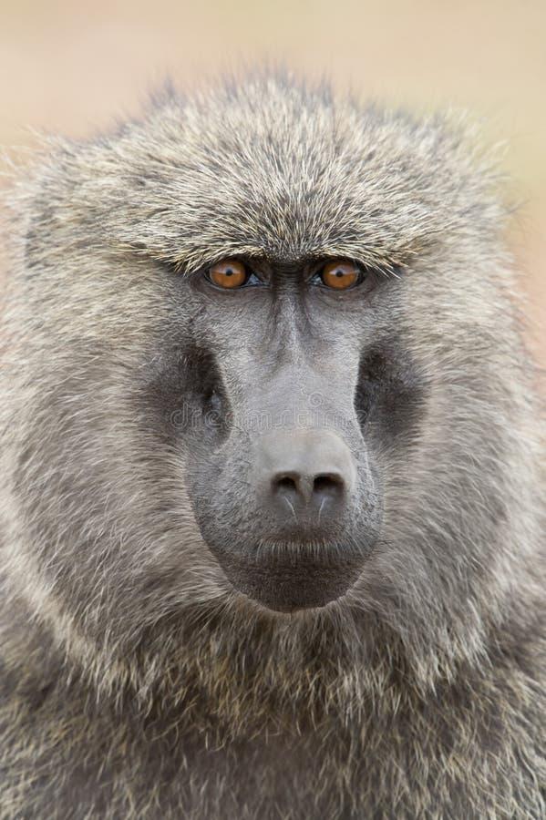 Download 一个橄榄色的狒狒的画象 库存照片. 图片 包括有 单独的, 通配, 橄榄, 肯尼亚, 狒狒, 哺乳动物, 敌意 - 30327880