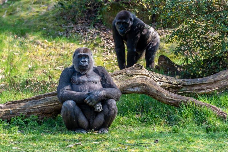 一个母大猩猩坐草看 库存照片