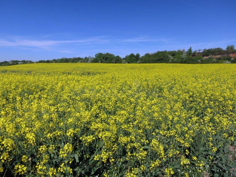 一个油菜籽领域在夏天 免版税库存照片