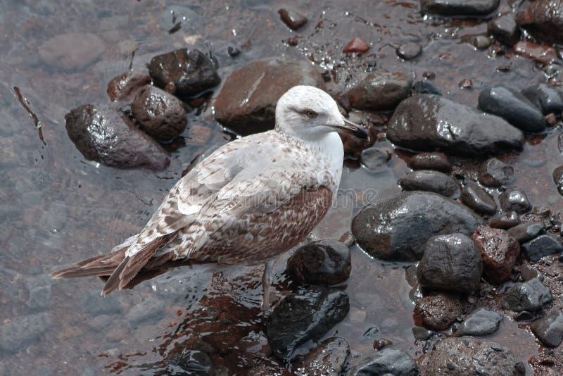 一个海滩的共同的鸥鸥属canus青少年在丰沙尔马德拉岛 免版税库存照片