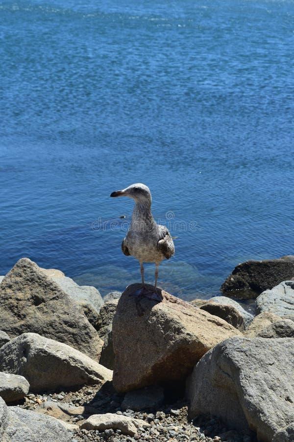 一个海鸥身分的美丽的射击在岩石海岸的 库存照片