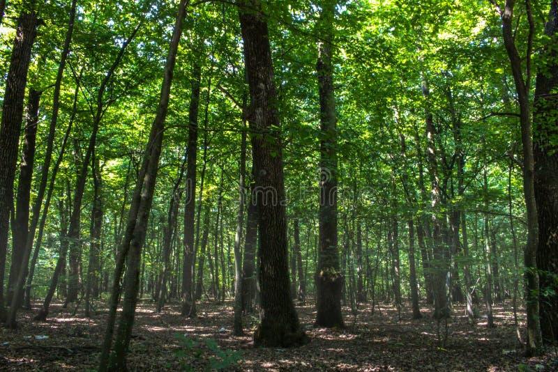 一个深有薄雾的森林 免版税库存照片