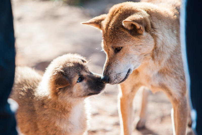 一个混杂的牧羊人品种狗母亲和她的小狗感人的鼻子 免版税库存图片