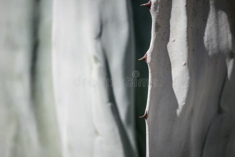 一个灰色仙人掌的细节 库存图片