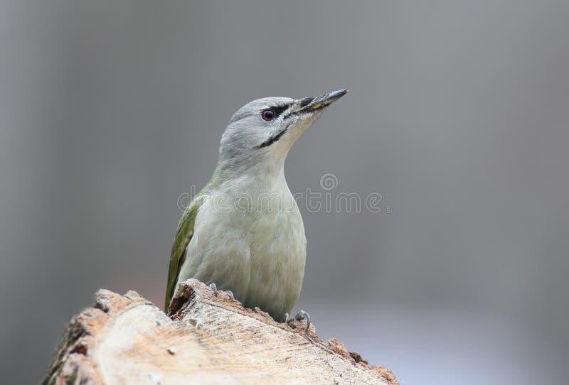 一个灰色灰色啄木鸟女性特写镜头的画象正面 免版税库存照片