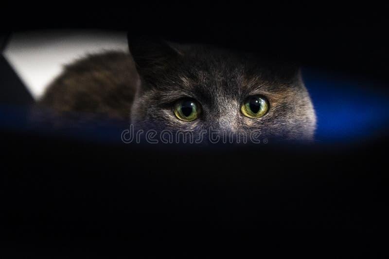 一个灰色猫特写镜头的逗人喜爱的枪口 免版税库存照片