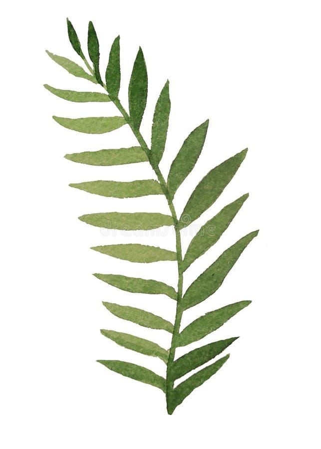 一个热带植物的被雕刻的叶子绘与在wh的水彩 库存图片