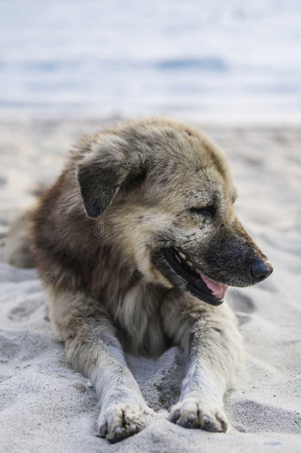 一个狗澳大利亚人的画象反对天空蔚蓝的由海 免版税库存照片