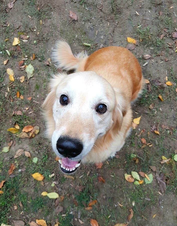 一个狗猎犬特写镜头的枪口在叶子背景的  免版税图库摄影