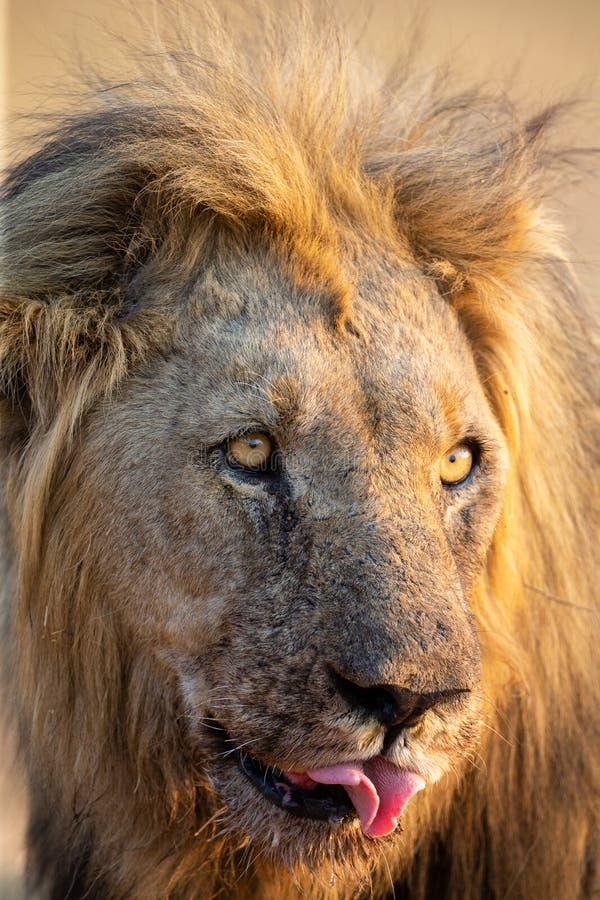 一个狮子男性的画象与血液的在它的面孔吃完尸体 免版税库存图片