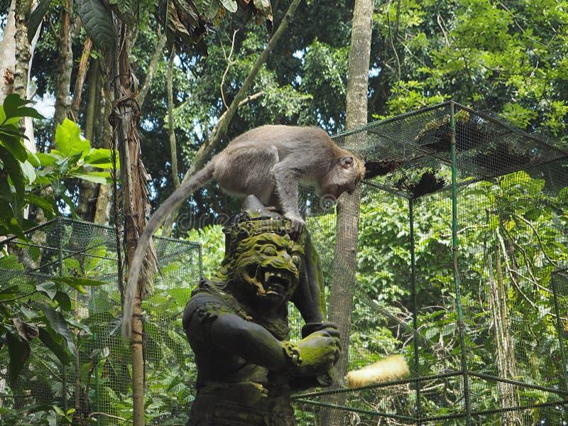 一个猴子神的雕象有他的头的设法的短尾猿恢复一个玉米穗 库存照片