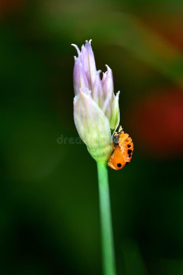 一个瓢虫的幼虫在的香葱开花 库存图片