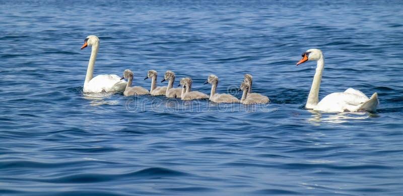 一个疣鼻天鹅家庭游泳在海洋 免版税库存图片