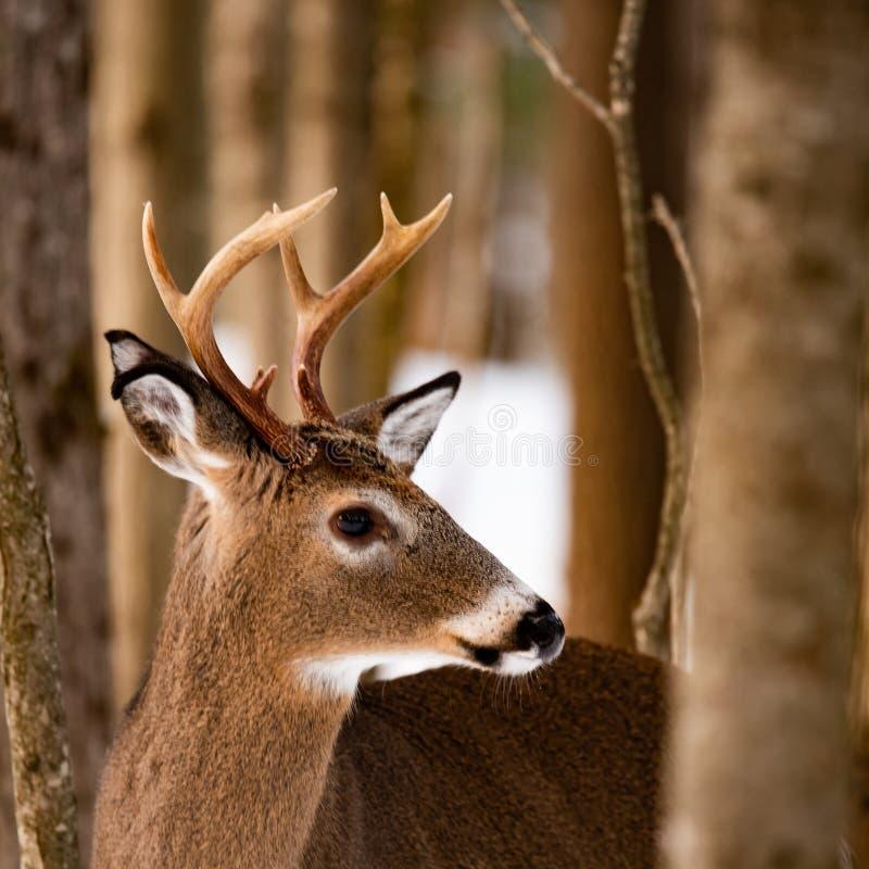 一个白尾鹿大型装配架身分的画象在森林里 库存照片