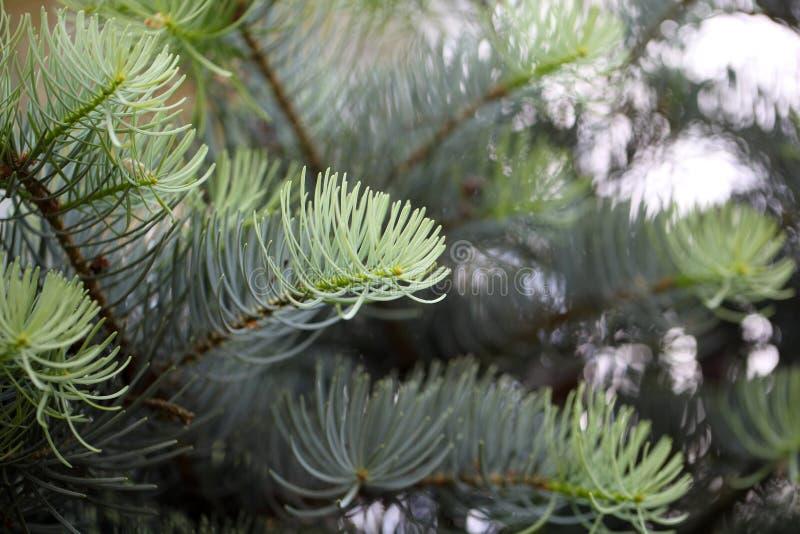 一个白杉的叶子 库存图片