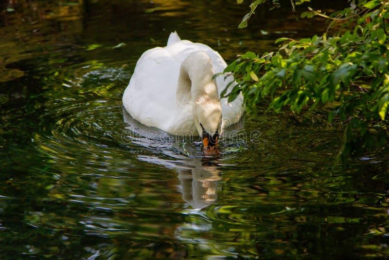 一个白色天鹅湖喝水 图库摄影