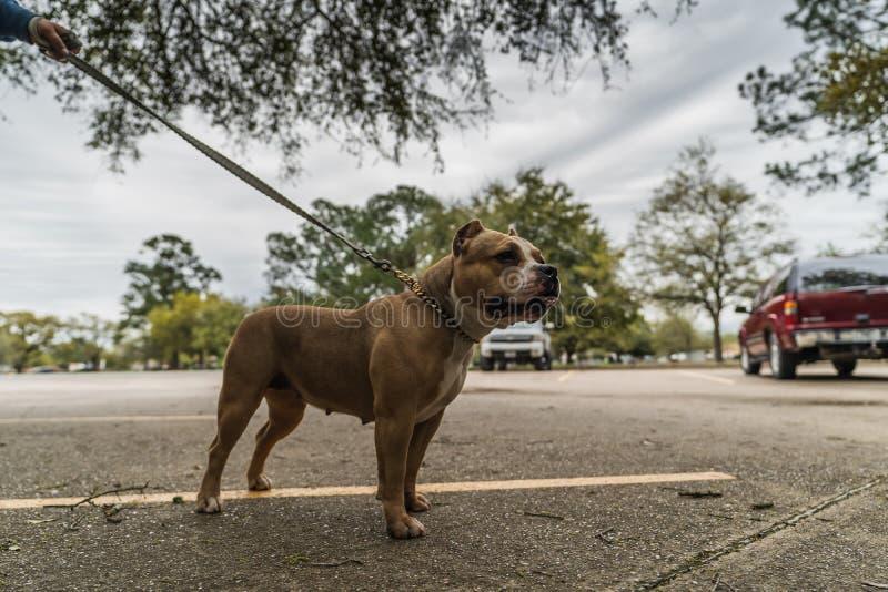 愉快的美国恶霸狗在春天 免版税库存照片