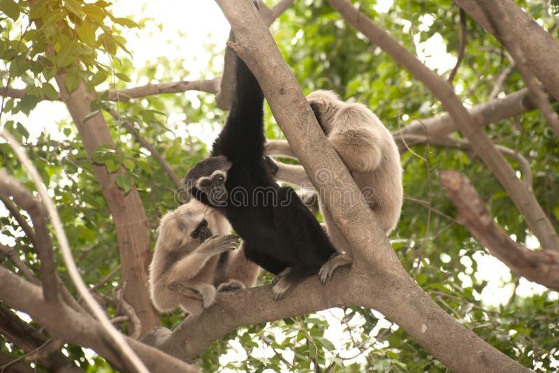 一个白被递的长臂猿长臂猿家神家庭坐树 免版税库存照片